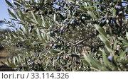 Купить «Black olives on tree branches in grove», видеоролик № 33114326, снято 26 ноября 2019 г. (c) Яков Филимонов / Фотобанк Лори
