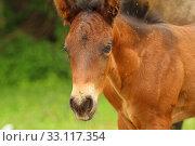 Купить «Young horse», фото № 33117354, снято 27 февраля 2020 г. (c) PantherMedia / Фотобанк Лори