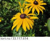 Купить «common coneflower - rudbeckia fulgida sullivantii - goldstorm -», фото № 33117614, снято 9 июля 2020 г. (c) PantherMedia / Фотобанк Лори