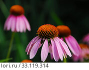 Купить «Echinacea purpurea pink coneflower flower», фото № 33119314, снято 9 июля 2020 г. (c) PantherMedia / Фотобанк Лори