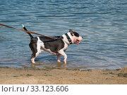 Белая с черными пятнами собака породы американский питбультерьер стоит в водоеме и лает. Стоковое фото, фотограф Кузин Алексей / Фотобанк Лори
