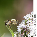 Купить «Bee at the blossom of a white flower», фото № 33125418, снято 26 февраля 2020 г. (c) PantherMedia / Фотобанк Лори