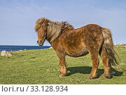 Small rough pony on a meadow off Norwegian fjord. Стоковое фото, фотограф Christa Eder / PantherMedia / Фотобанк Лори