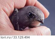 Купить «Baby bird in my hand», фото № 33129494, снято 1 июня 2020 г. (c) PantherMedia / Фотобанк Лори