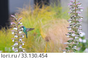 Купить «Small hummingbird near flowers frozen in action with it's wings perfectly outstretched against a colorful background», фото № 33130454, снято 10 июля 2020 г. (c) PantherMedia / Фотобанк Лори