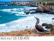 Купить «Blue-footed Booby, Ecuador Coastline, Isla de la Plata», фото № 33130470, снято 8 апреля 2020 г. (c) PantherMedia / Фотобанк Лори