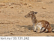 rhodian fallow deer. Стоковое фото, фотограф Dimitris Kolyris / PantherMedia / Фотобанк Лори