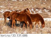 Купить «Рыжие лошади пасутся на зимнем пастбище в горах Алтая», фото № 33131686, снято 29 января 2020 г. (c) Наталья Волкова / Фотобанк Лори
