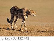 Alert Cheetah. Стоковое фото, фотограф Nico Smit / PantherMedia / Фотобанк Лори