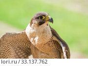 Купить «Small and fastest raptor bird peregrine or accipiter», фото № 33137762, снято 4 августа 2020 г. (c) PantherMedia / Фотобанк Лори