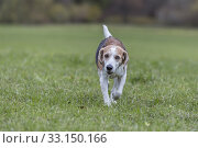 Купить «Beagle walks across a green meadow», фото № 33150166, снято 6 апреля 2020 г. (c) PantherMedia / Фотобанк Лори