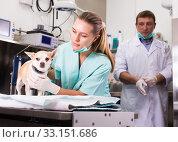 Купить «Dog on the operating table in a veterinary clinic», фото № 33151686, снято 13 сентября 2019 г. (c) Яков Филимонов / Фотобанк Лори