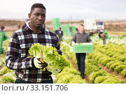 Afro-american farmer harvesting lettuce (lactuca sativa) on plantation. Стоковое фото, фотограф Яков Филимонов / Фотобанк Лори