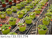 Купить «Pots with flowering portulaca in greenhouse», фото № 33151774, снято 23 февраля 2020 г. (c) Яков Филимонов / Фотобанк Лори