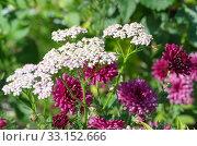 Купить «Белый тысячелистник на фоне розовых хризантем в саду», фото № 33152666, снято 9 июля 2019 г. (c) Елена Коромыслова / Фотобанк Лори