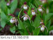 Купить «Lady's slipper orchid (Cypripedium calceolus), blooming plants», фото № 33160018, снято 24 мая 2019 г. (c) Ольга Сейфутдинова / Фотобанк Лори
