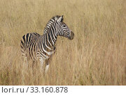 Купить «zebra in the savanna», фото № 33160878, снято 6 июля 2020 г. (c) PantherMedia / Фотобанк Лори