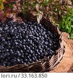 Купить «european blueberry», фото № 33163850, снято 27 мая 2020 г. (c) PantherMedia / Фотобанк Лори