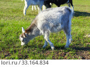 Купить «Goat kid on the pasture», фото № 33164834, снято 15 июля 2020 г. (c) PantherMedia / Фотобанк Лори