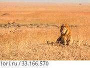 Купить «Male lion in Masai Mara,Male lion in Masai Mara,Male lion in Masai Mara,Male lion in Masai Mara», фото № 33166570, снято 29 мая 2020 г. (c) PantherMedia / Фотобанк Лори