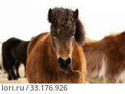 Portrait of an Icelandic pony with a brown mane. Стоковое фото, фотограф Birgit Korber / PantherMedia / Фотобанк Лори
