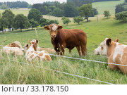 Kühe auf der Weide. Стоковое фото, фотограф Alfred Hofer / PantherMedia / Фотобанк Лори