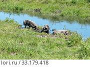 Три свиньи спасаются от жары у маленькой речки в жаркий летний день. Стоковое фото, фотограф Светлана Попова / Фотобанк Лори
