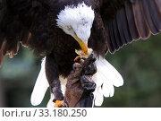 Купить «White-headed eagle on the hand of a falconer», фото № 33180250, снято 5 июня 2020 г. (c) PantherMedia / Фотобанк Лори