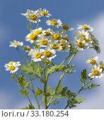 Купить «Roemischer Bertram; Anacyclus pyrethrum;», фото № 33180254, снято 29 мая 2020 г. (c) PantherMedia / Фотобанк Лори