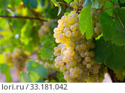 White grapes with blurred vineyard background. Стоковое фото, фотограф Яков Филимонов / Фотобанк Лори