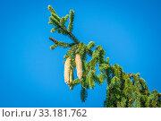 Купить «Pine cones on a twig on blue background», фото № 33181762, снято 31 мая 2020 г. (c) PantherMedia / Фотобанк Лори