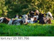 Купить «Cattle lying in the grass», фото № 33181766, снято 22 февраля 2020 г. (c) PantherMedia / Фотобанк Лори