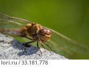 Купить «Sympetrum vulgatum dragonfly close-up», фото № 33181778, снято 31 мая 2020 г. (c) PantherMedia / Фотобанк Лори