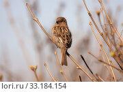 Купить «Portrait of a sparrow», фото № 33184154, снято 1 апреля 2008 г. (c) Argument / Фотобанк Лори