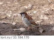 Купить «Portrait of a sparrow», фото № 33184170, снято 2 апреля 2008 г. (c) Argument / Фотобанк Лори