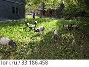 Sattelschwein, Deutsche, Nutztierrasse, Стоковое фото, фотограф Manfred Ruckszio / PantherMedia / Фотобанк Лори