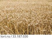 field of ripe wheat. Стоковое фото, фотограф Valery Vvoennyy / PantherMedia / Фотобанк Лори