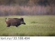 Wild boar in a clearing. Стоковое фото, фотограф Janusz Pieńkowski / PantherMedia / Фотобанк Лори