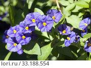 Купить «potato bush solanum,ratonettii,enzian bush,», фото № 33188554, снято 29 мая 2020 г. (c) PantherMedia / Фотобанк Лори