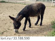 Poitou-Esel, Esel; Equus, Haustier. Стоковое фото, фотограф Manfred Ruckszio / PantherMedia / Фотобанк Лори