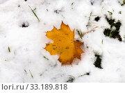Купить «fallen maple leaf on lawn covered by first snow», фото № 33189818, снято 9 апреля 2020 г. (c) PantherMedia / Фотобанк Лори
