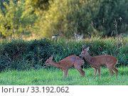 Rehbock beschlaegt Ricke - (Reh - Rehwild) / Copulation between Roe Deer buck and doe - (European Roe Deer - Western Roe Deer) / Capreolus capreolus. Стоковое фото, фотограф Zoonar.com/Helge Schulz / easy Fotostock / Фотобанк Лори