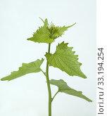 Купить «Knoblauchsrauke; Alliaria petiolata», фото № 33194254, снято 29 мая 2020 г. (c) PantherMedia / Фотобанк Лори