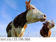 simmental cattle with horns in the pasture. Стоковое фото, фотограф Astrid Gast / PantherMedia / Фотобанк Лори