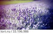 Купить «Lavender in the field», фото № 33196986, снято 21 февраля 2020 г. (c) PantherMedia / Фотобанк Лори