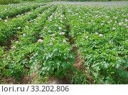 Купить «Цветущее картофельное поле», фото № 33202806, снято 14 июля 2018 г. (c) Елена Коромыслова / Фотобанк Лори
