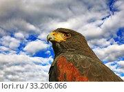 desert bussard also american hawk parabuteo unicinctus. Стоковое фото, фотограф Gerald Kiefer / PantherMedia / Фотобанк Лори