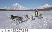 Female mushing sled dog team, running on snow distance Dog Sled Race Competition. Редакционное видео, видеограф А. А. Пирагис / Фотобанк Лори
