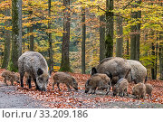 Wild boar (Sus scrofa) group with piglets foraging in autumn forest, Ardennes, Belgium. November. Стоковое фото, фотограф Philippe Clement / Nature Picture Library / Фотобанк Лори