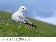 Купить «Northern fulmar / Arctic fulmar (Fulmarus glacialis) resting on sea cliff top at seabird colony at Hermaness, Unst, Shetland, Scotland, UK, June», фото № 33209258, снято 4 августа 2020 г. (c) Nature Picture Library / Фотобанк Лори